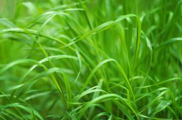Green grass close up nature