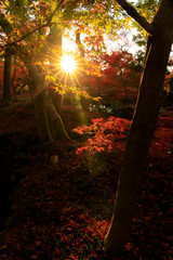 Wall Mural - Silhouette of red maple autumn leaves with lens flare