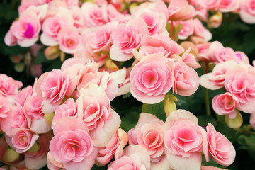 pink and white begonia flowers for pattern and background