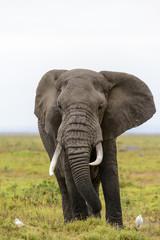 African bush elephant or African Elephant (Loxodonta africana) and cattle egret (Bubulcus ibis). Amboseli National Park. Kenya.