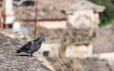 Un piccione sui tetti di Ragusa Ibla
