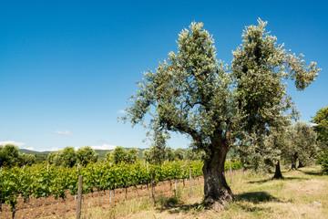 Olivenbaum an einem Weinberg mit blauem Himmel