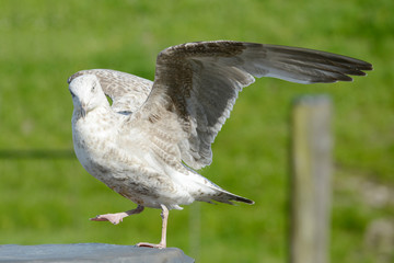 Seagull standing and hits the wings