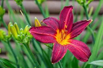 Crimson colored daylily