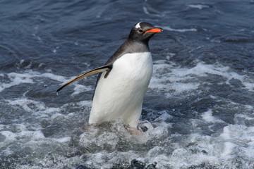 Gentoo penguine