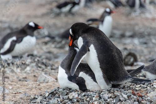 Do Penguins Have Sex 17