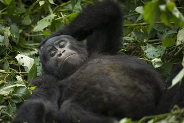 Mountain gorilla (Gorilla beringei beringei) sleeping. Bwindi Impenetrable Forest. Uganda