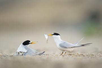 Least Tern Offering Fish