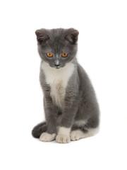 kitten gray