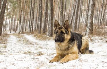 adult sheepdog on a winter walk