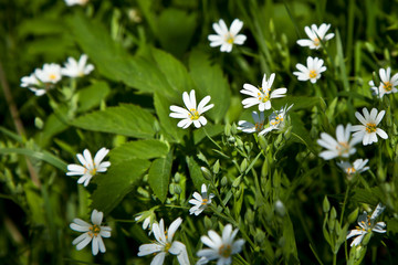 Many white small flowers on a green floor