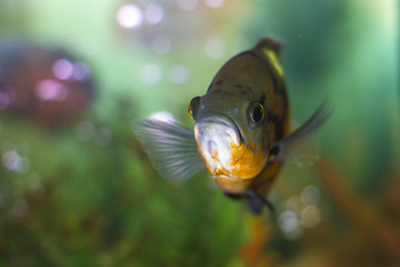 close picture of colorful pet fish in an aquarium, shallow DOF