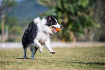 Fototapeta Border Shepherd runs in the grass