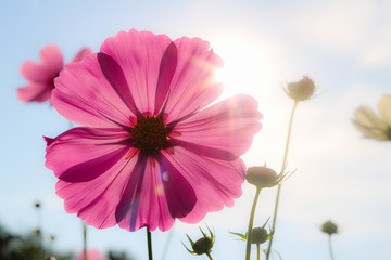 Aluminium Prints Candy pink Beautiful pink cosmos flower blooming in garden while sunset.