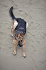 German shepherd portrait on sand.