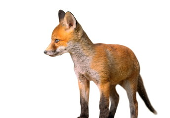 isolated young european fox