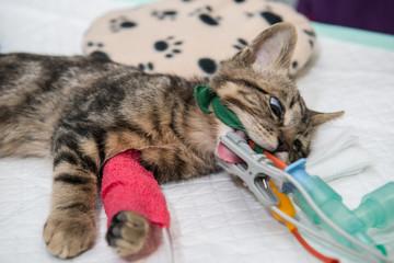 Le vétérinaire chirurgien opère une chatte, anesthésie générale.