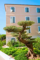 bonsai style olive tree in Saint Tropez
