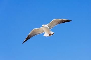White Seagull flying on blue sky background