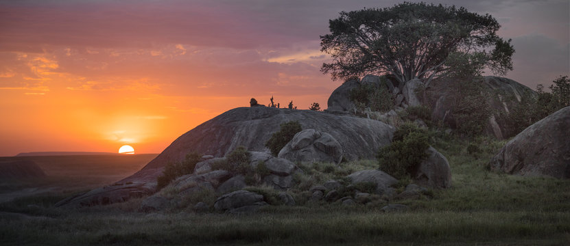 Kopje Lion Sunset