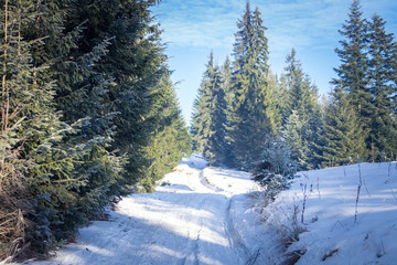 Winter forest in the Carpathians