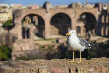 Seagull at the Roman Forum, Rome, Italy