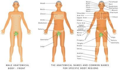 Male body - Front, surface anatomy, human body shapes, anterior view, parts of human body, general anatomy. The anatomical names and corresponding common names are indicated for specific body regions