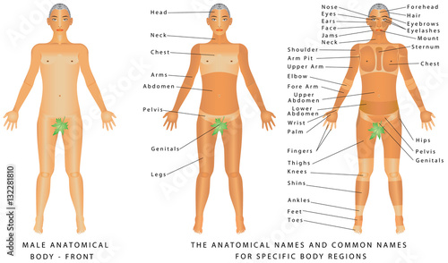 Male Body Front Surface Anatomy Human Body Shapes Anterior View