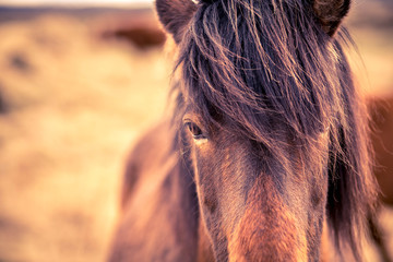 Icelandic Horse Close-Up