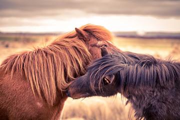 Two Icleandic Horses