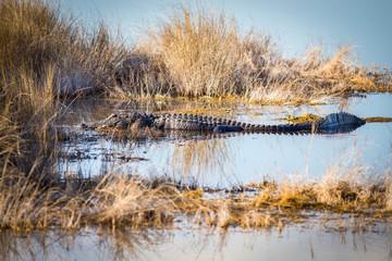 Alligator in a Marsh