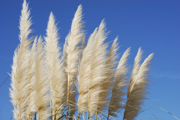 reed against blue sky