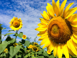 Sunflower with blue sky background.Sunflower and cloudy sky.