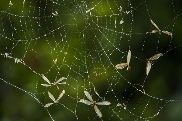 Flying ants trapped in an orb-web spiders web following an emerg