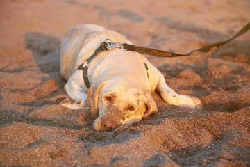 Sad labrador dog laying on set