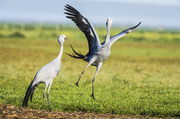 Blue Crane pair partaking in their pair bonding display dance