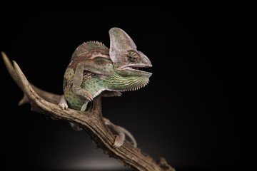 Foto auf Acrylglas Chamaleon Kameleon na porożu