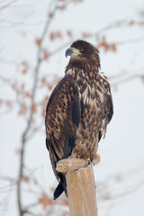 Juvenile White-tailed eagle