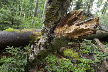 Fotobehang Onweer primeval forest Stužica, Slovakia