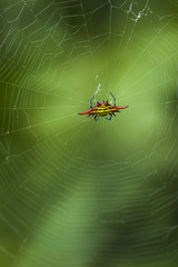 Kite spider and web.
