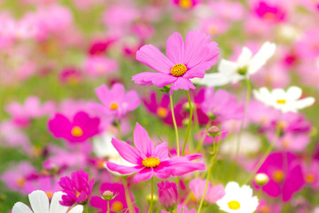 Beauty cosmos flowers in the garden.