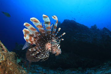 Lionfish fish underwater coral reef