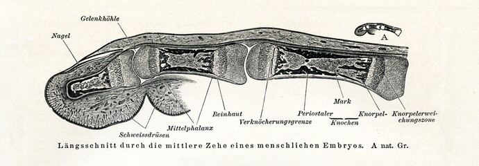 Middle finger of human embryo - longitudinal section (from Meyers Lexikon, 1895, 7/508/509)