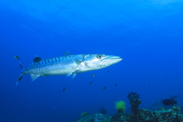 Barracuda fish