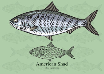 American Shad. Vector illustration for artwork in small sizes. Suitable for graphic and packaging design, educational examples, web, etc.