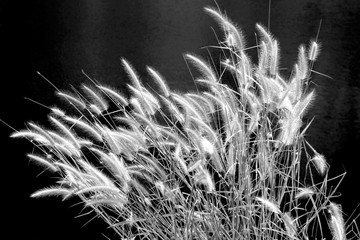 The clump flower of grass sunlight waterfront, group of floral meadow with long narrow leaves riverside, mass pampas flora leaf bush tree (Black and white scene)