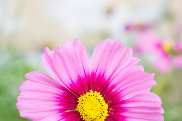Cosmos flowers in the park , Beautiful flowers  close-up and hal