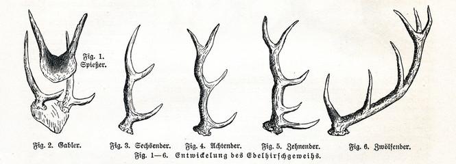 Growing of red deer (Cervus elaphus) antlers (from Meyers Lexikon, 1895, 7/513)
