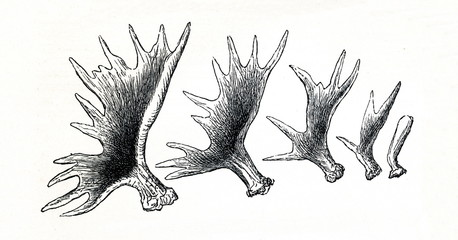 Growing of elk (Alces alces) antlers (from Meyers Lexikon, 1895, 7/514)