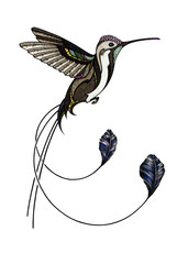 Marvellous spatuletail hummingbird, illustration